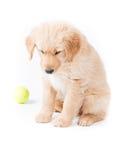 看猎犬的小狗下来 免版税库存图片
