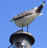 看白色的海鸥  免版税库存照片