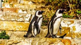 看的企鹅努力去做在台阶下在冰砾靠岸 免版税库存照片