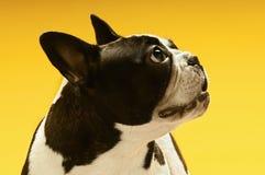 看的法国牛头犬  免版税图库摄影