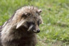 看的浣熊,特写 免版税图库摄影