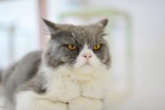 看的猫批转 免版税库存照片