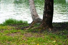 看的监控蜥蜴, Lumphini公园, Bangk 免版税库存图片