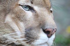 看的美洲狮休息和直接 图库摄影