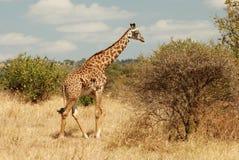 看的长颈鹿吃 图库摄影