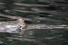 看的鳄鱼的黄色眼睛非常威胁 库存照片