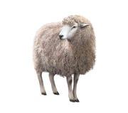 看的绵羊的正面图  免版税库存照片