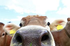 看直接地入照相机的一头好奇幼小母牛的鼻子 图库摄影