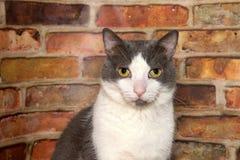 看直接地在砖墙前面的观察者的灰色和白色虎斑猫 库存图片