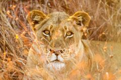 看直接照相机的非洲狮子 免版税库存图片