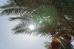 看看从枣椰子下面的太阳 库存照片