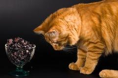 看碗用蓝莓的一只红色猫的画象 免版税库存照片