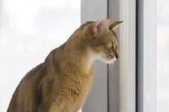看窗口的Abissinian猫 免版税库存图片