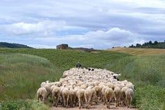 看管与绵羊群在自然风景的 免版税库存照片