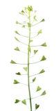 看管` s钱包植物或瘦果有在白色背景和果子的伯萨pastoris隔绝的花 免版税库存照片