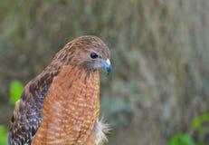 看红色肩膀的鹰下来 免版税库存照片