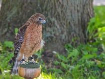 看红色肩膀的鹰下来 免版税图库摄影