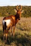 看红色Harte-beest -狷羚buselaphus caama 免版税库存图片