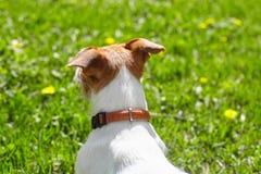看绿色草坪的逗人喜爱的杰克罗素狗爱犬在一个晴朗的夏日 免版税库存照片