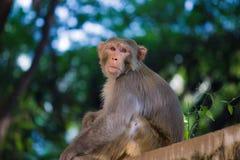 看罗猴短尾猿的猴子坐墙壁和  免版税库存照片