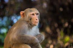 看罗猴短尾猿的猴子坐树和  免版税库存图片
