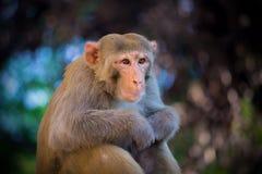 看罗猴短尾猿的猴子坐树和  图库摄影