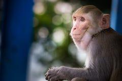 看罗猴短尾猿的猴子选址和  免版税图库摄影