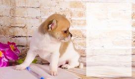 看美丽的奇瓦瓦狗  免版税库存图片