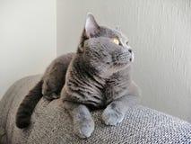 看英国短发的猫坐沙发和  免版税库存图片