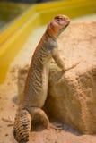 看蜥蜴 库存照片