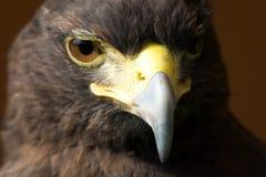 看被日光照射了哈里斯的鹰特写镜头下来 免版税库存图片