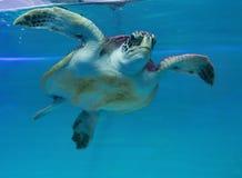 看见乌龟游泳 免版税库存图片