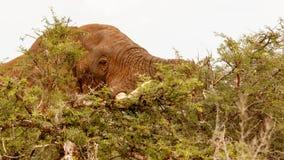 他们看见了我 非洲灌木大象 库存图片