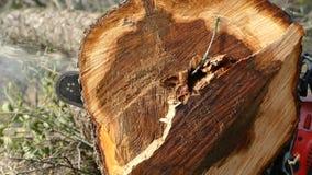 看见了树锯 木芯片从锯落 影视素材