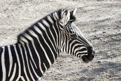 看见数据条斑马 免版税图库摄影
