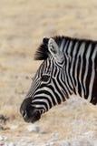 看见数据条斑马 burchell s斑马 免版税图库摄影