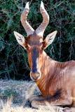 看见注视-红色Harte-beest -狷羚buselaphus caama 免版税库存图片