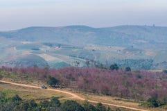 看见野生喜马拉雅樱桃的路 免版税库存图片