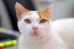 看观察者的白色和橙色猫画象  库存照片