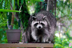 看观察者的野生浣熊 免版税库存图片
