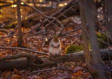 看谁的灰色squirl ` s摄影师 库存照片
