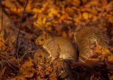 看谁的灰色squirl ` s摄影师 免版税库存图片