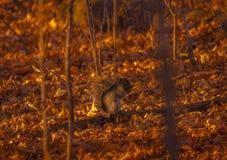 看谁的灰色squirl ` s摄影师 免版税库存照片