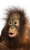 看起来一只幼小Bornean的猩猩的特写镜头惊奇 免版税库存图片