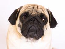 看起来一条坐的哈巴狗的狗哀伤 查出 免版税库存图片