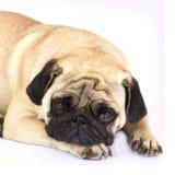 看起来一条说谎的哈巴狗的狗哀伤 查出 图库摄影