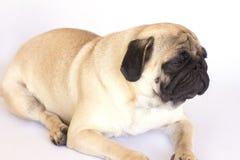 看起来一条说谎的哈巴狗的狗哀伤 查出 免版税图库摄影