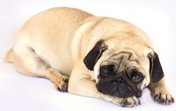 看起来一条说谎的哈巴狗的狗哀伤 查出 免版税库存图片