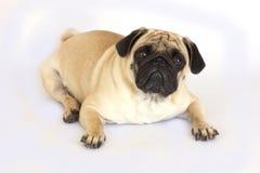 看起来一条说谎的哈巴狗的狗哀伤 查出 库存图片