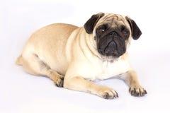 看起来一条说谎的哈巴狗的狗哀伤 查出 免版税库存照片